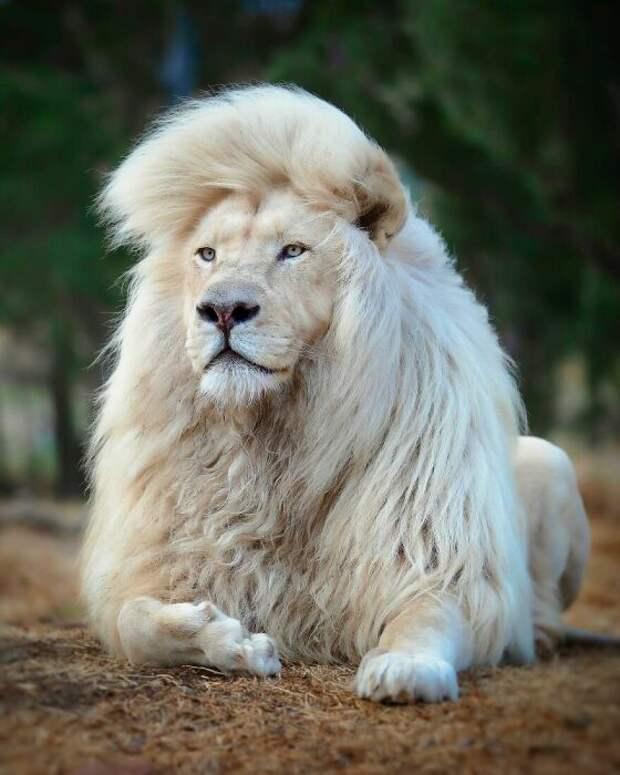 Уникальный белогривый лев.