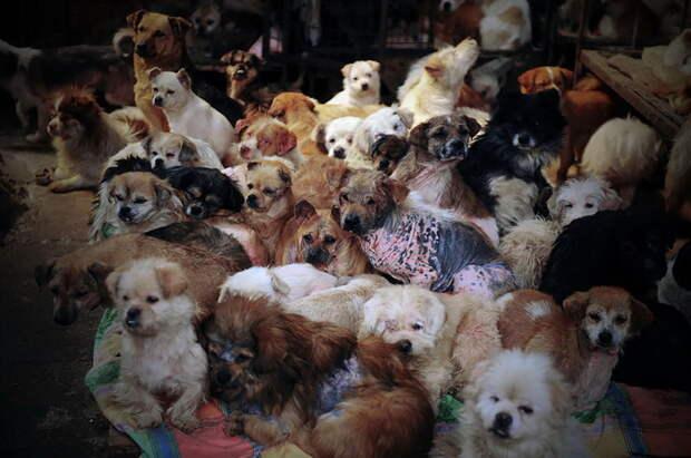 Ежегодно на фестивале в Юлине съедается более 10 тысяч собак