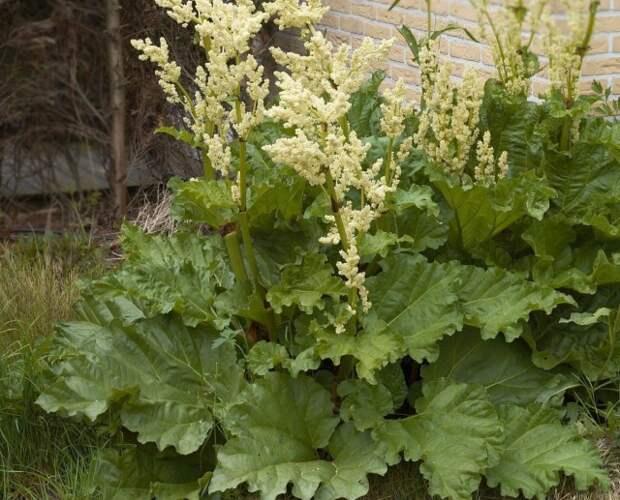 Ревень огородный (Rheum rhaponticum)