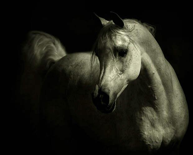31. Арабские лошади участвуют в большом разнообразии мероприятий, включая ярмарки, фильмы, парады, ц