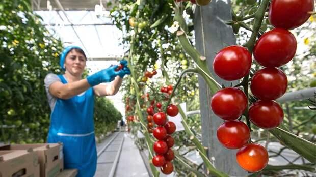 Двукратное импортозамещение. Самообеспеченность томатами в России составила 220%