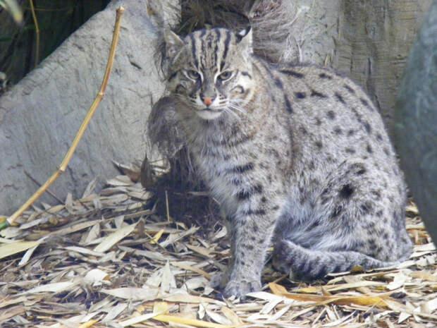 3. Кошка-рыболов кошки, природа