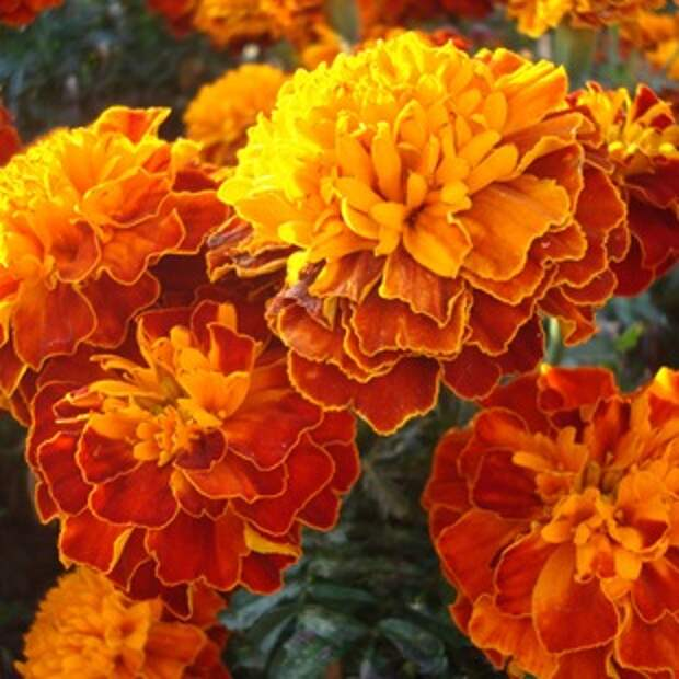 Садовые цветы однолетники. Цветник из однолетников, фото.