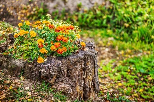 Orange marigold in flowerbed in stum, summer city park.