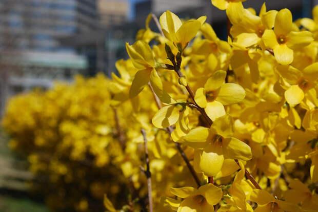 Цветущая форсайтия весна, деревья, цветы