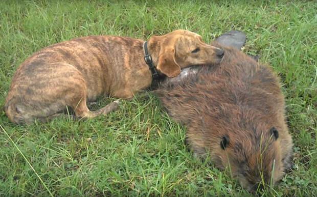 Собака и бобёр