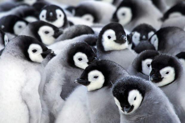 Как греются пингвины антарктида, животные, пингвины, фото