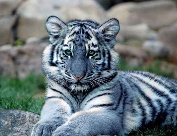 20. Мальтийский тигр кошки, природа