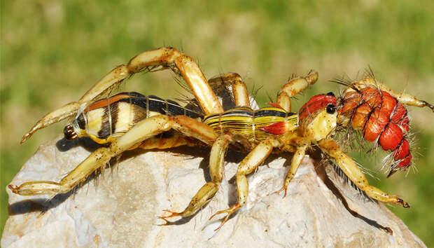 Фаланга: самый ужасный паук из сердца пустыни