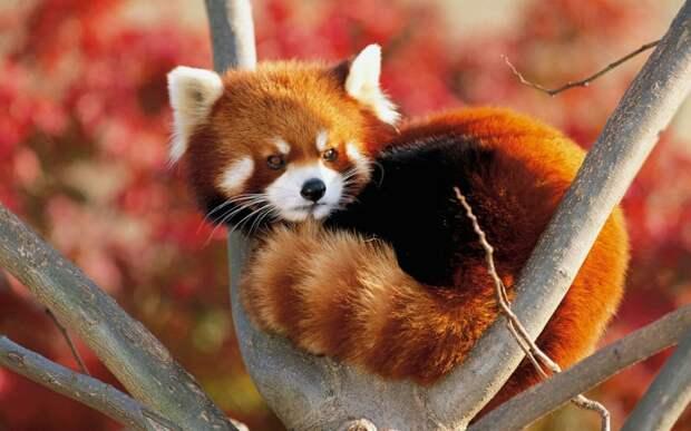 Карликовая панда интересное, фото, фотоподборка