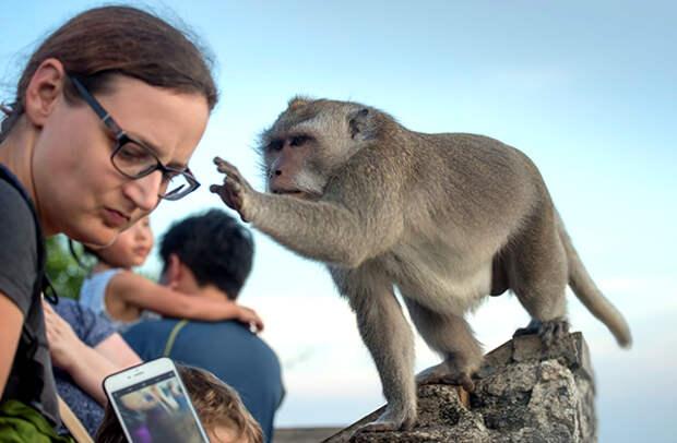 обезьяна ворует