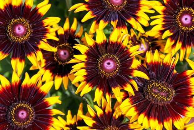 Цветки рудбекии собраны в крупные, декоративные соцветия яркого красного, желтого и оранжевого оттенка