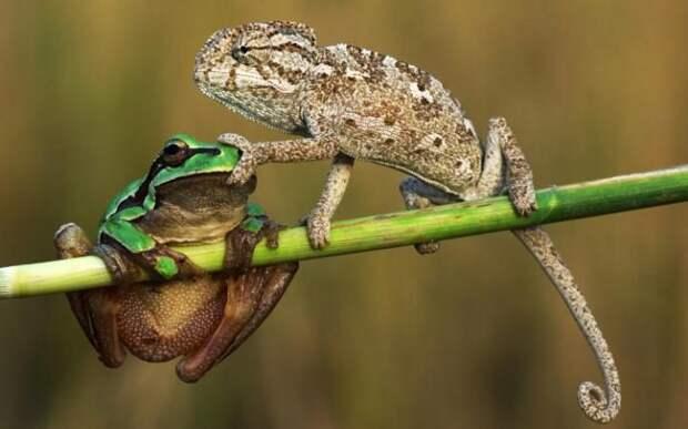 Лягушка и хамелеон
