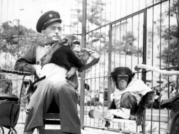 20. Дружба с шимпанзе животные, зоопарк