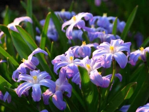 первоцветы которые не нуждаются в уходе пушкиния