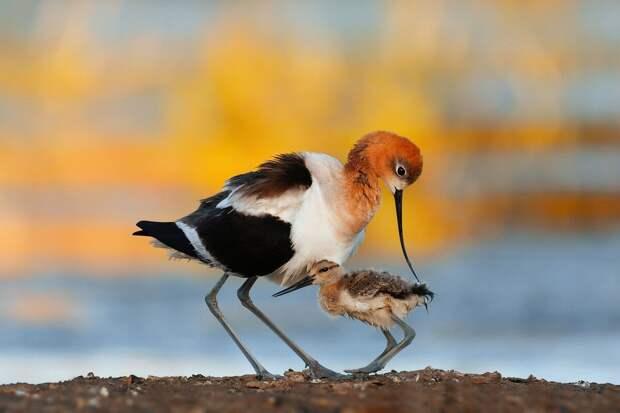Американская шилоклювка с птенцом. Фото: Цзиньхуа Чжи
