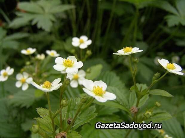 Садовая земляника Ханиола - опыт выращивания
