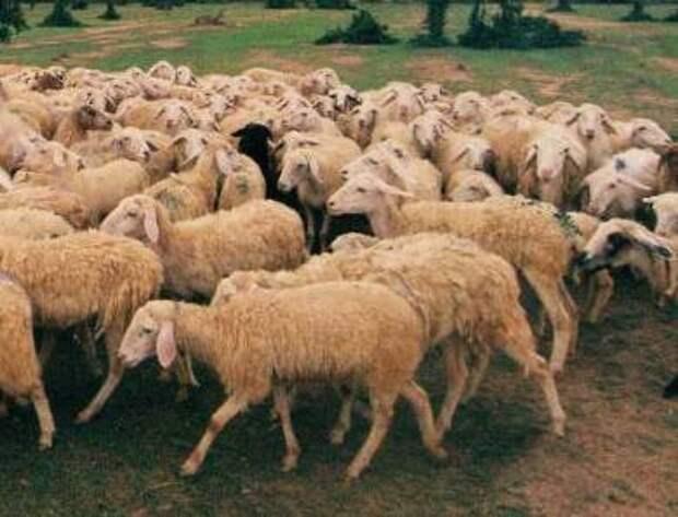 В Норвегии расследуют странный инцидент с овцами