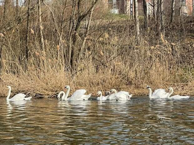 Отличить лебедей в парке «Митино» может только орнитолог