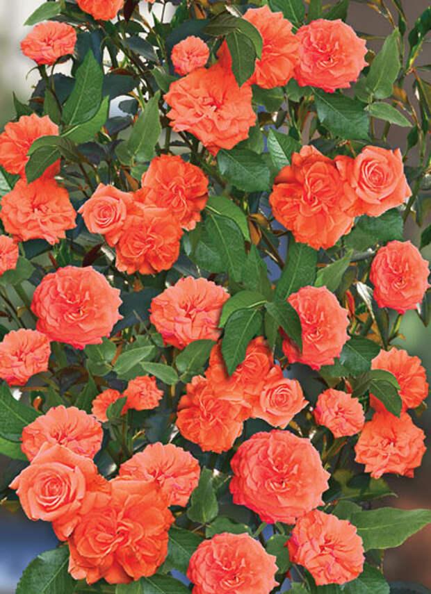 Оранж Даун (Orange Dawn)