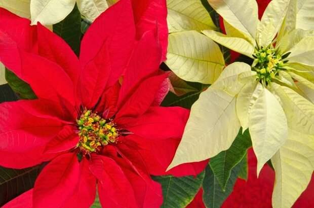 Цветки пуансеттии совсем невзрачны