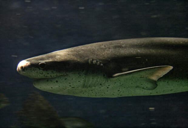 Большая белая акула больше не главный хищник: ее вытеснила другая акула