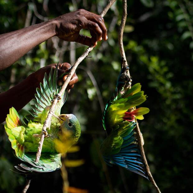 Охота на птиц на Больших Антильских Островах - часть сельской карибской культуры.  «Люди и природа», первое место среди студентов / Lydia Gibson