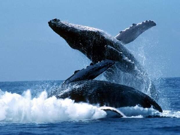 Синий-кит-животное-Описание-и-фото-синего-кита-5