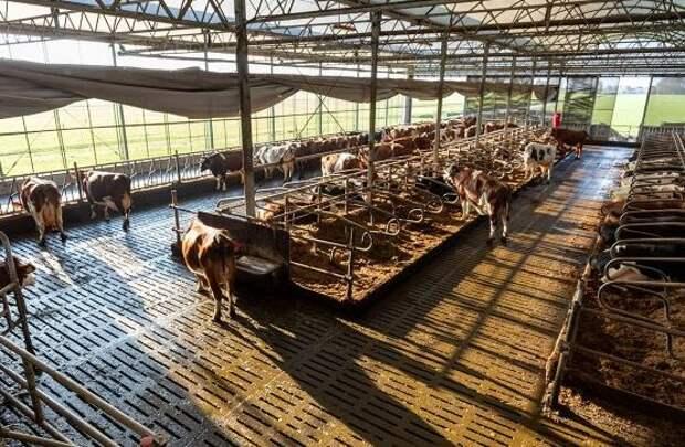 Голландские коровы подсели на шоколад