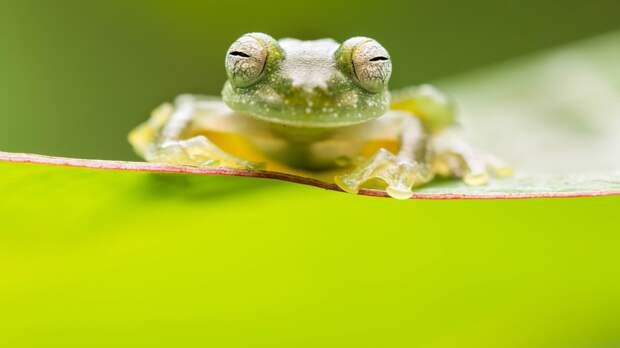 Посмотри мне в глаза. Стеклянная лягушка (Teratohyla pulverata) в тропическом лесу Коста-Рики.  «Крупный план», первое место среди студентов / Alex Edwards