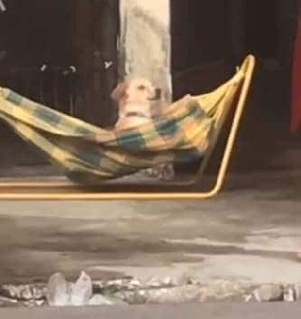 Королева среди собак: питомица вольготно развалилась в гамаке и радуется жизни