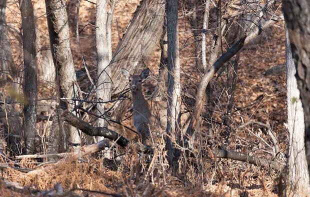 Пятнистый олень, Приморский край, национальный парк «Земля леопарда»