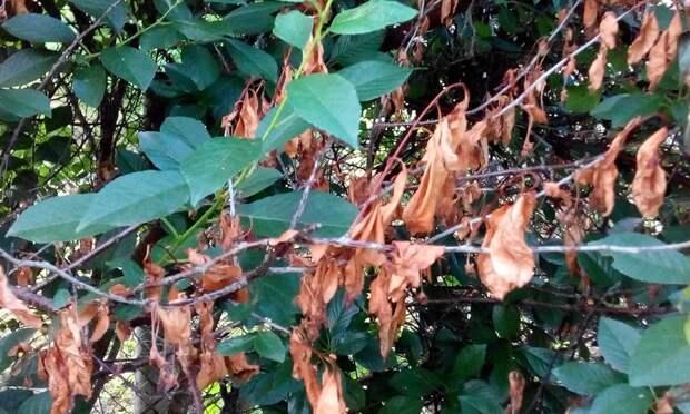 Почему сохнут ветви у деревьев и что делать?