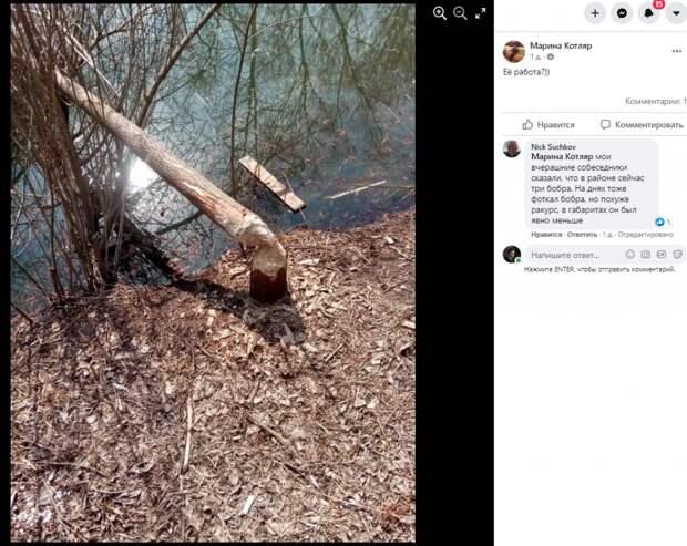 Жители Свиблова обеспокоены: полчища бобров наводнили район