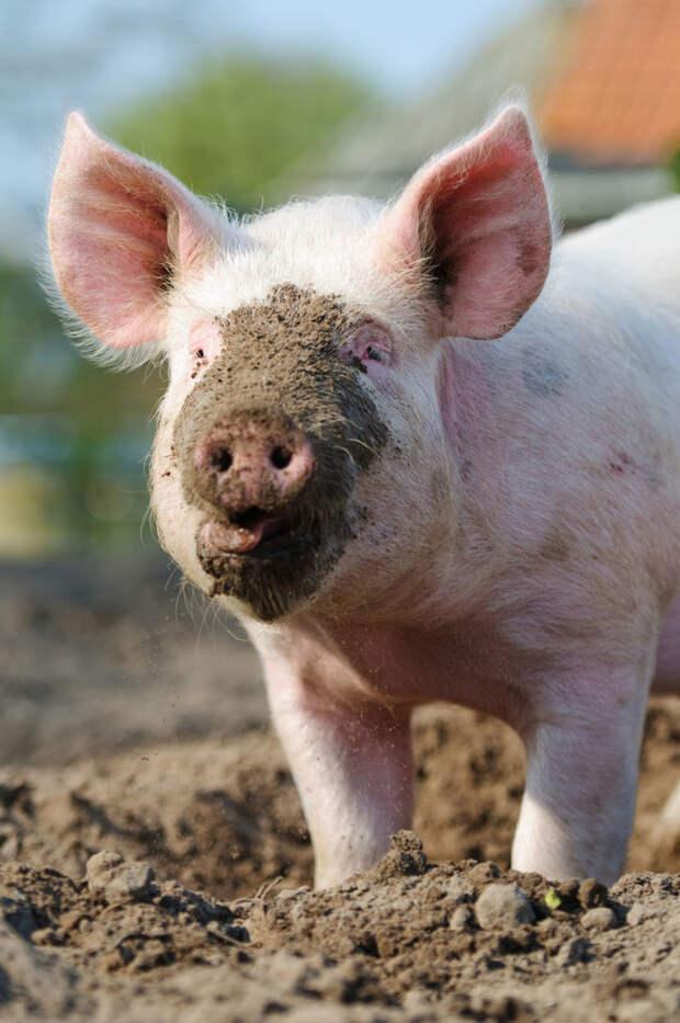 Люди - свиньи жизнь, люди, мусор, свиньи
