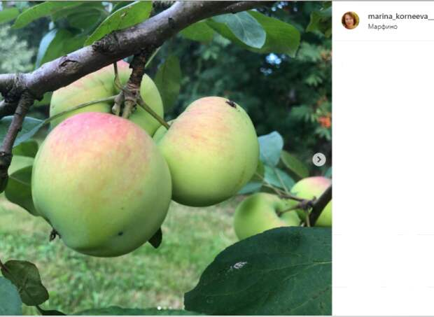 Фото дня: в Марфине зреют яблоки