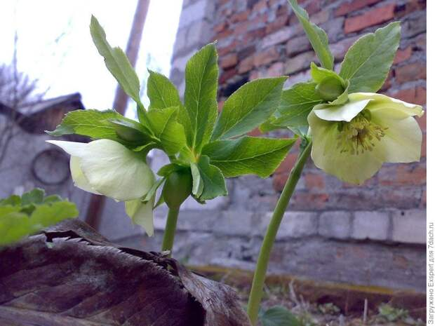 Нежный морозник - цветок зимы!
