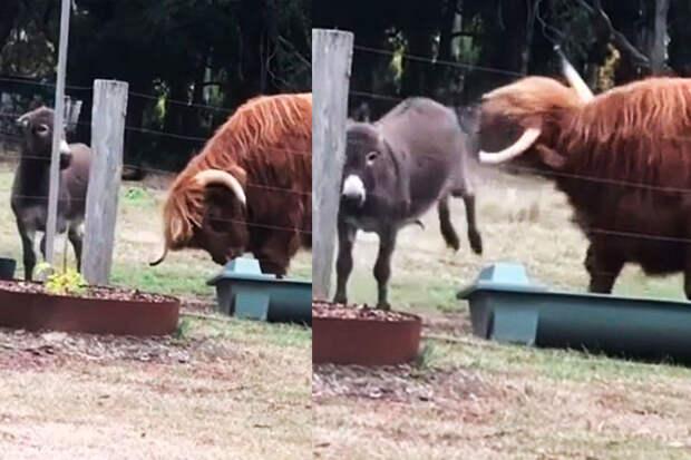 Смелый ослик решительно дал понять быку, кто главный покормушкам
