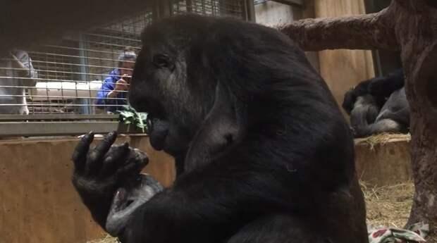 В прошлое воскресенье 16-летняя Калая, западная равнинная горилла, родила первенца Смитсоновский национальный зоологический парк, горилла, детеныш, животные, поцелуй, рождение, фото