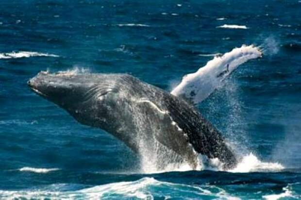 Синий-кит-животное-Описание-и-фото-синего-кита-6