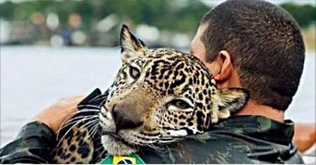 Во время наводнения, тонущий ягуар обнял своего спасителя, как обычный домашний кот…