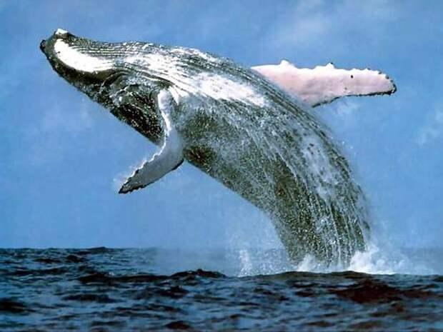 Синий-кит-животное-Описание-и-фото-синего-кита-1