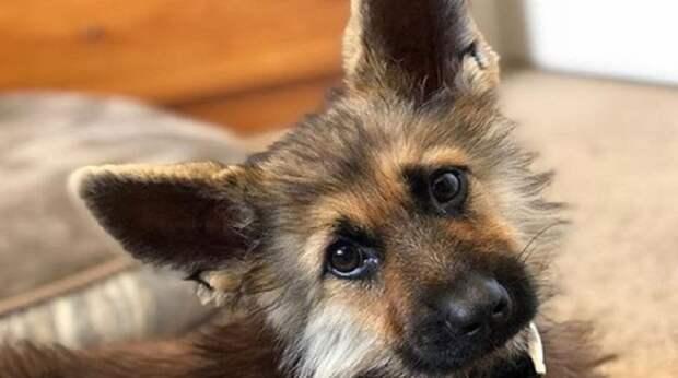 Овчарка вызывает у всех умиление своими щенячьими размерами. Все бы ничего, но этот пес – давно не щенок