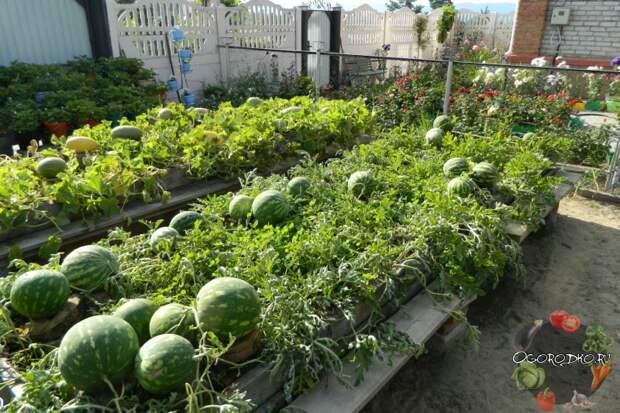 Арбуз чарльстон грей описание и характеристика сорта урожайность с фото