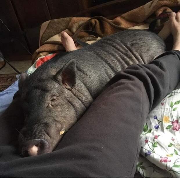 На Волжском бульваре поселилась самая настоящая свинья