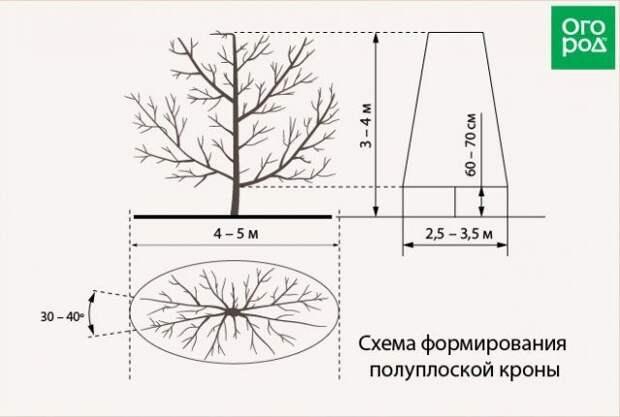 схема формирования полуплоской кроны