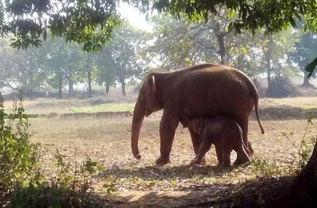 Слоненок застрял в грязи, и мама половину суток упорно пыталась его достать. Она не собиралась сдаваться