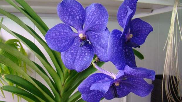 Орхидея Ванда принадлежит к эпифитным растениям