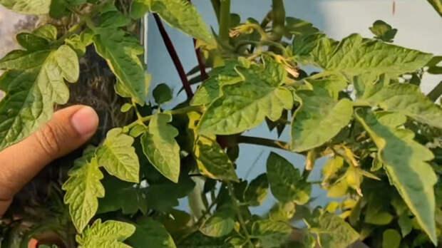 Эксперимент с томатом: выращивание «вверх ногами» в бутылке