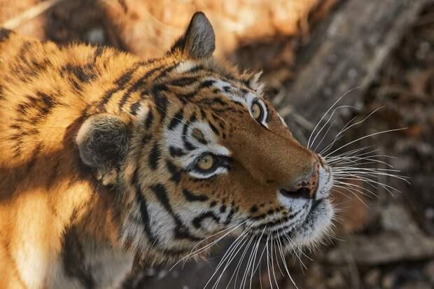 Популяция амурского тигра в Приморье достигла рекордных значений за последние два года